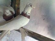 Продажа голубей
