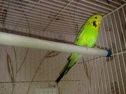 попугая