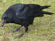Куплю или заберу в хорошие руки черного ворона