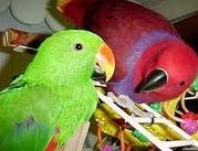 Попугаи Эклектусы (пара молодая,  спарованная)