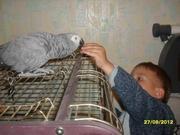Краснохвостый Жако  попугай