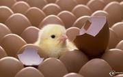 реализуются цыплята-бройлеры,  утята, гусята
