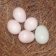 овоскопии яйца,  гарантируется плодородной.