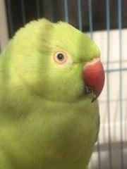 Ожереловый попугай,  самочка,  1 годик