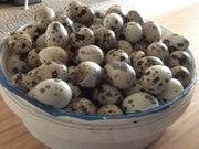Перепелки порода Английский Техас-разного возраста, перепелиные яица...