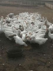 Продам поголовьем гуся